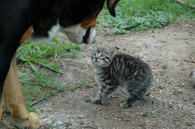 כלב גדול מסתכל על חתול קטן