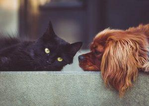 כלב ספניאל מסתכל על חתול שחור