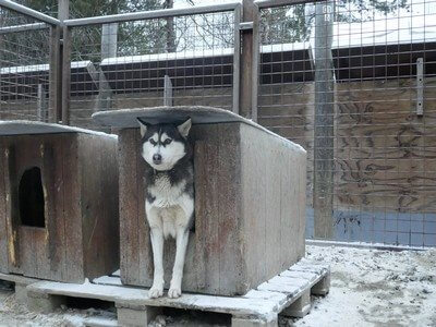 כלב האסקי ליד המלונה