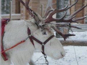 אייל צפוני שסוחב מזחלות שלג