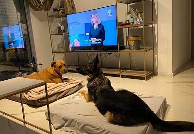 שני כלבי בית צופים בסדרה