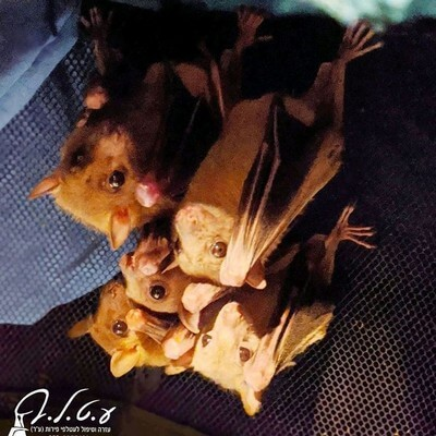 עטלפים תלויים מהתקרה