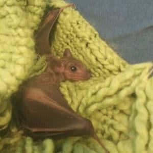 עטלף קטן על סוודר. הצלת בעלי חיים