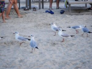 חוף הים, טיילת JBR, שחפים ליד אנשים על חוף הים