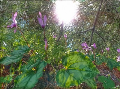 הרקפות מצויות בכל אזורי הארץ. זהו פרח מוגן ויש לשמור עליו, כנסו לבלוג טיולים ל:מקומות לטייל במרכז