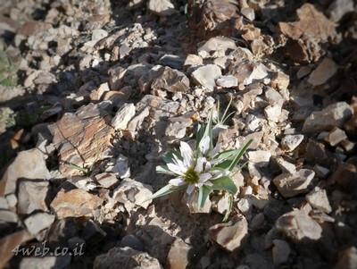 פרחים בנגב, צמחיה בנגב, עונת חורף