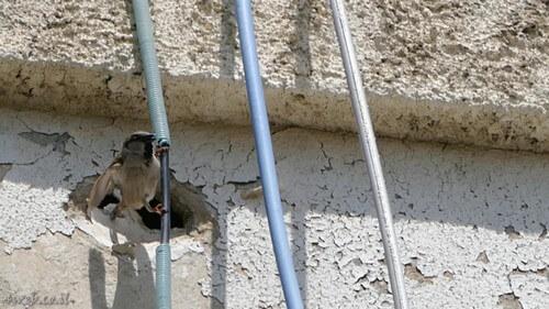 ציפורים מקננות בקירות בנין נועד להריסה