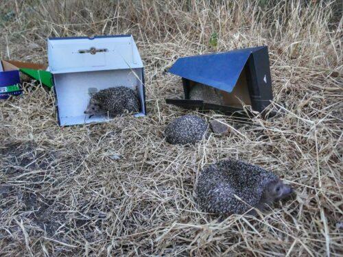 מתנדבים על בעלי חיים, טיפול ושחרור קיפודים בסיכום עם רשות הטבע