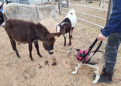 כלב נכה משתמש ברתמה, חמורים ועזים