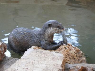 לוטרה אוכלת דג. חיות בר מטופלות במקלטים לבעלי חיים. חלקם חוזרים לטבע