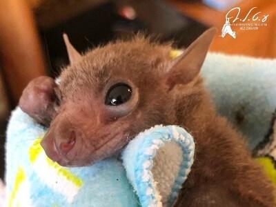 עזרה לעטלפים, אומנה לגורים, טיפול, הסעות, עזרה בהשבה לטבע