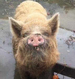 חזיר בר, טיפים ועצות איפה להתנדב